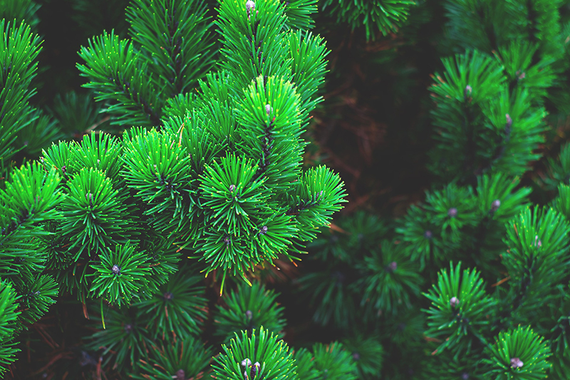 b2bcards corporate christmas eacrd ref:b2bcards-christmas-tree-fir-green.jpg, Christmas Tree,Fir,Scenery, Green